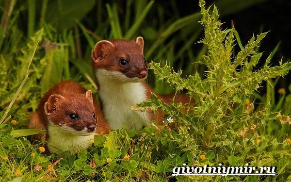 Ласка-животное-Образ-жизни-и-среда-обитания-ласки-8