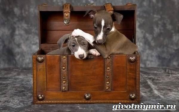 Левретка-порода-собак-Описание-особенности-цена-и-уход-за-левреткой-1