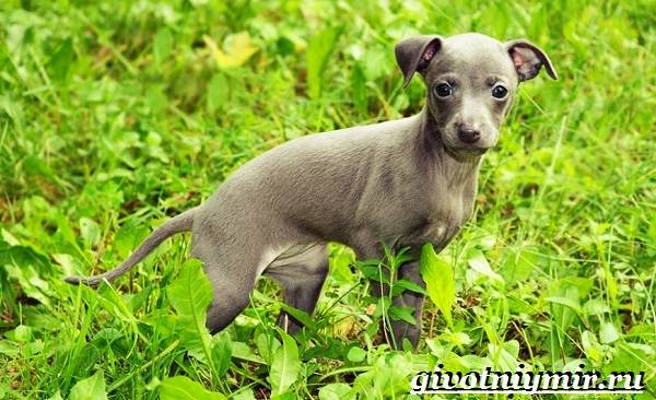 Левретка-порода-собак-Описание-особенности-цена-и-уход-за-левреткой-10