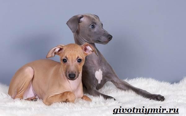 Левретка-порода-собак-Описание-особенности-цена-и-уход-за-левреткой-11