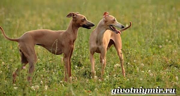 Левретка-порода-собак-Описание-особенности-цена-и-уход-за-левреткой-2