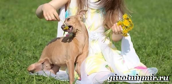 Левретка-порода-собак-Описание-особенности-цена-и-уход-за-левреткой-3