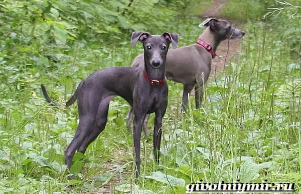Левретка-порода-собак-Описание-особенности-цена-и-уход-за-левреткой-4