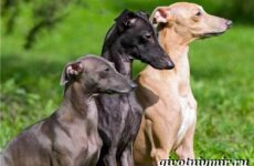 Левретка порода собак. Описание, особенности, цена и уход за левреткой
