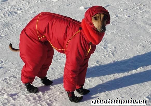 Левретка-порода-собак-Описание-особенности-цена-и-уход-за-левреткой-6