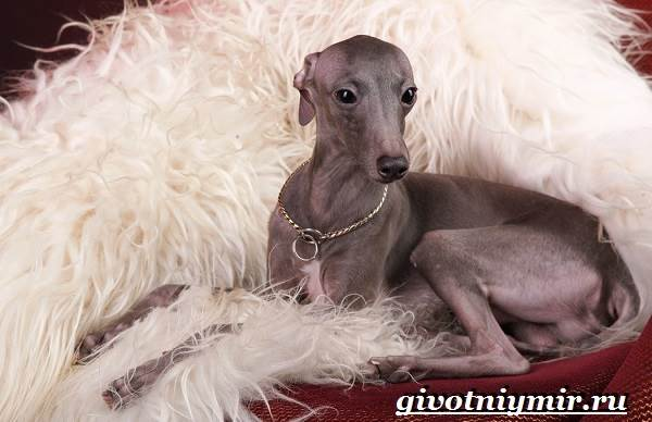 Левретка-порода-собак-Описание-особенности-цена-и-уход-за-левреткой-7