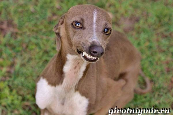 Левретка-порода-собак-Описание-особенности-цена-и-уход-за-левреткой-9