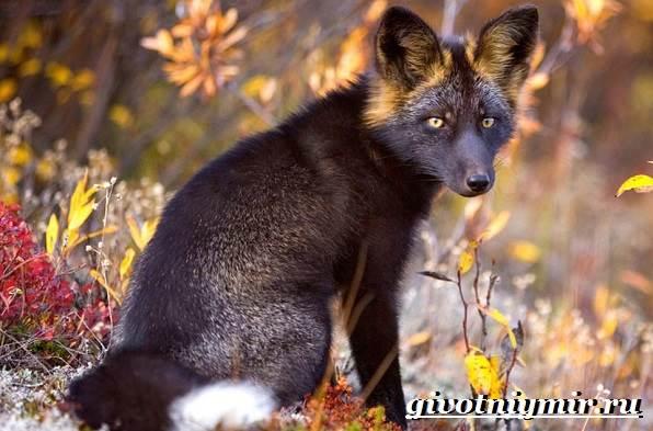 Лиса-чернобурка-Образ-жизни-и-среда-обитания-лисы-чернобурки-1