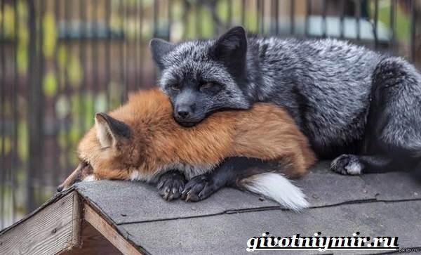 Лиса-чернобурка-Образ-жизни-и-среда-обитания-лисы-чернобурки-3