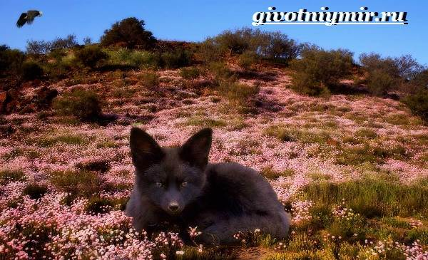Лиса-чернобурка-Образ-жизни-и-среда-обитания-лисы-чернобурки-4