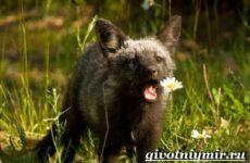 Лиса чернобурка. Образ жизни и среда обитания лисы чернобурки