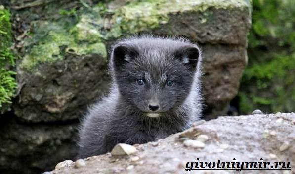 Лиса-чернобурка-Образ-жизни-и-среда-обитания-лисы-чернобурки-7