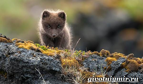 Лиса-чернобурка-Образ-жизни-и-среда-обитания-лисы-чернобурки-8