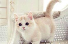 Манчкин кошка. Описание, особенности, цена и уход за породой манчкин