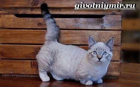 Манчкин-кошка-Описание-особенности-цена-и-уход-за-породой-манчкин-2