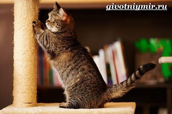 Манчкин-кошка-Описание-особенности-цена-и-уход-за-породой-манчкин-3
