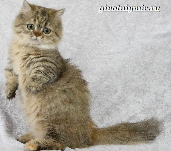 Манчкин-кошка-Описание-особенности-цена-и-уход-за-породой-манчкин-4