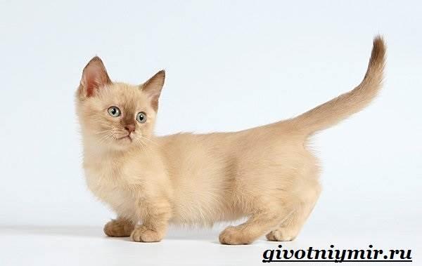 Манчкин-кошка-Описание-особенности-цена-и-уход-за-породой-манчкин-6