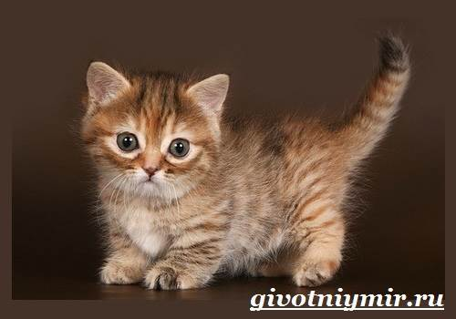 Манчкин-кошка-Описание-особенности-цена-и-уход-за-породой-манчкин-7