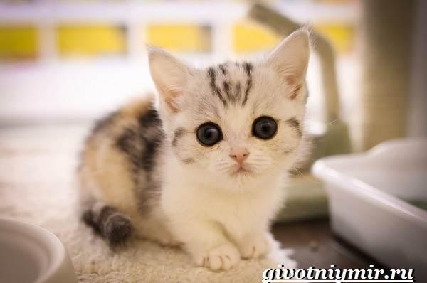 Манчкин-кошка-Описание-особенности-цена-и-уход-за-породой-манчкин-8