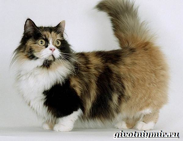 Манчкин-кошка-Описание-особенности-цена-и-уход-за-породой-манчкин-9