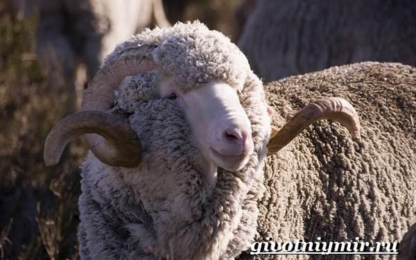Меринос-овца-Образ-жизни-и-среда-обитания-овцы-меринос-1