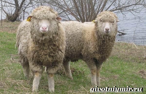 Меринос-овца-Образ-жизни-и-среда-обитания-овцы-меринос-3