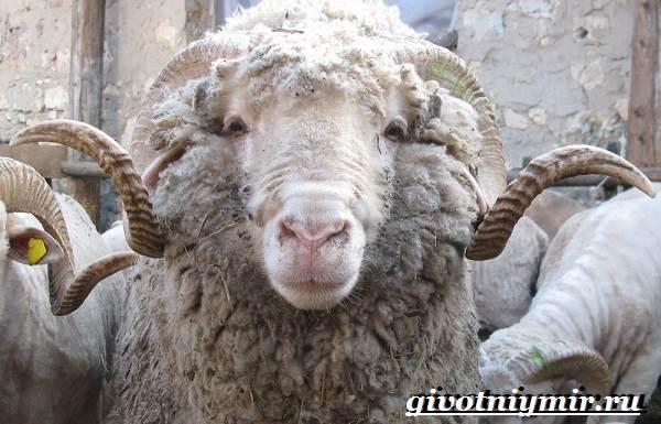 Меринос-овца-Образ-жизни-и-среда-обитания-овцы-меринос-4