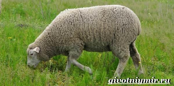 Меринос-овца-Образ-жизни-и-среда-обитания-овцы-меринос-5