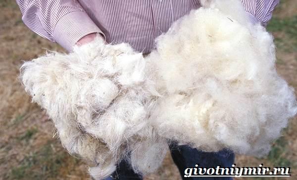 Меринос-овца-Образ-жизни-и-среда-обитания-овцы-меринос-6