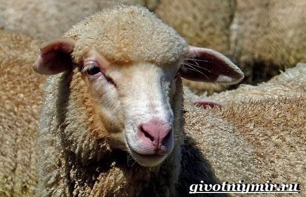 Меринос-овца-Образ-жизни-и-среда-обитания-овцы-меринос-7