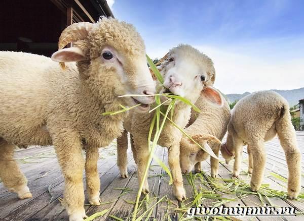 Меринос-овца-Образ-жизни-и-среда-обитания-овцы-меринос-9