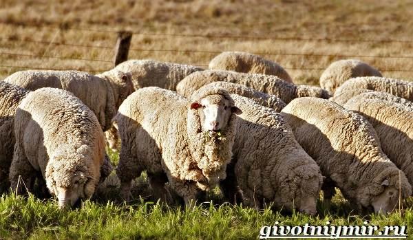 Меринос-овца-Образ-жизни-и-среда-обитания-овцы-меринос-2