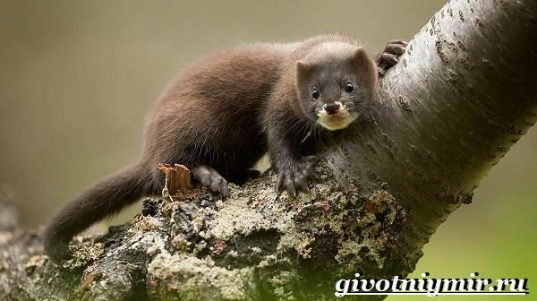 Норка животное. Образ жизни и среда обитания норки