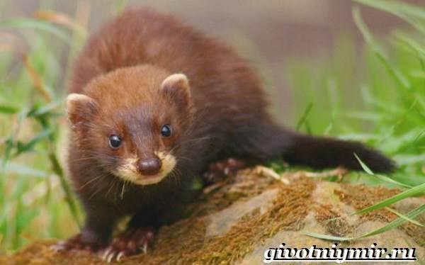 Норка-животное-Образ-жизни-и-среда-обитания-норки-4