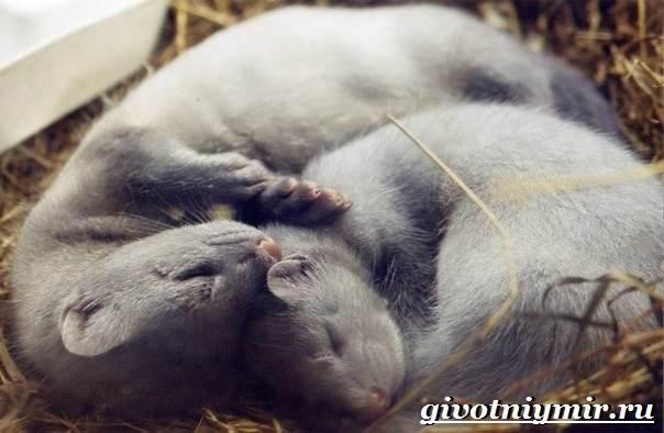 Норка-животное-Образ-жизни-и-среда-обитания-норки-7