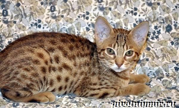 Оцикет-кошка-Описание-особенности-цена-и-уход-за-кошкой-оцикет-2