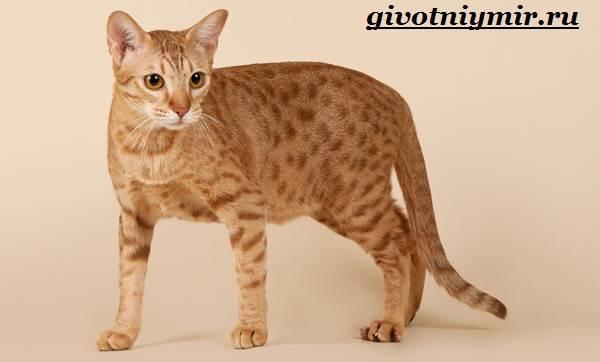 Оцикет-кошка-Описание-особенности-цена-и-уход-за-кошкой-оцикет-3