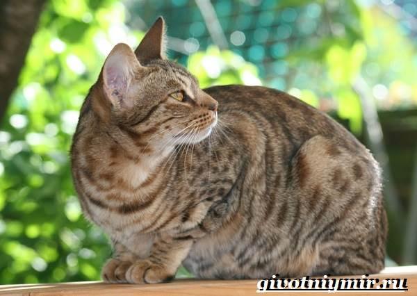Оцикет-кошка-Описание-особенности-цена-и-уход-за-кошкой-оцикет-4
