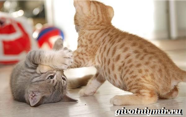 Оцикет-кошка-Описание-особенности-цена-и-уход-за-кошкой-оцикет-5