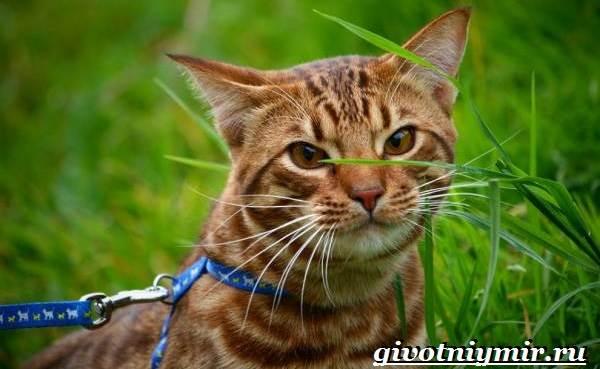 Оцикет-кошка-Описание-особенности-цена-и-уход-за-кошкой-оцикет-6