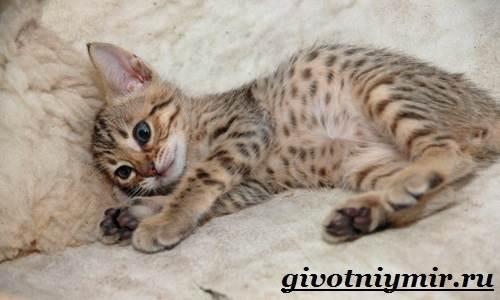 Оцикет-кошка-Описание-особенности-цена-и-уход-за-кошкой-оцикет-8