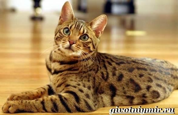 Оцикет-кошка-Описание-особенности-цена-и-уход-за-кошкой-оцикет
