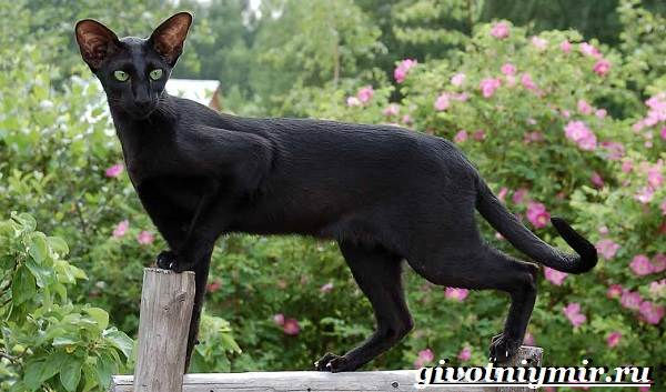 ориентальная кошка фото характер и цена