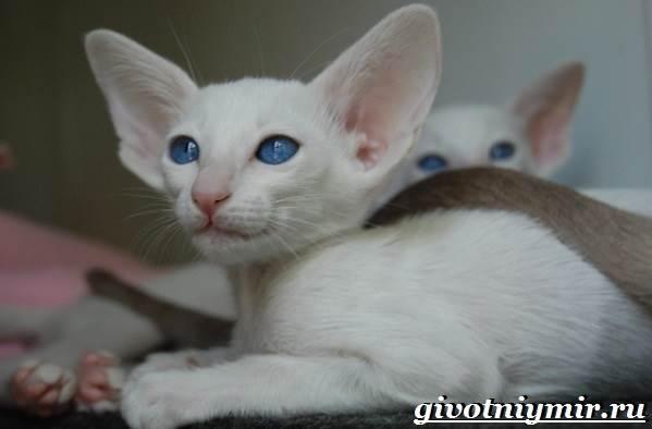 Ориентальная-кошка-Описание-особенности-цена-и-уход-за-ориентальной-кошкой-10