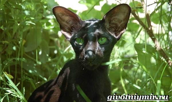 Ориентальная-кошка-Описание-особенности-цена-и-уход-за-ориентальной-кошкой-3