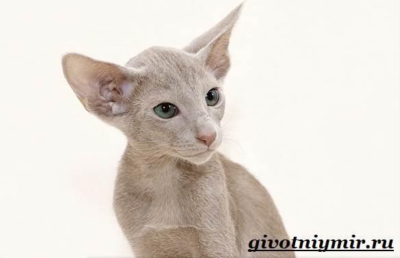 Ориентальная-кошка-Описание-особенности-цена-и-уход-за-ориентальной-кошкой-4