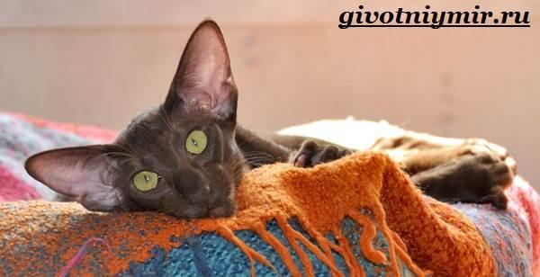 Ориентальная-кошка-Описание-особенности-цена-и-уход-за-ориентальной-кошкой-5