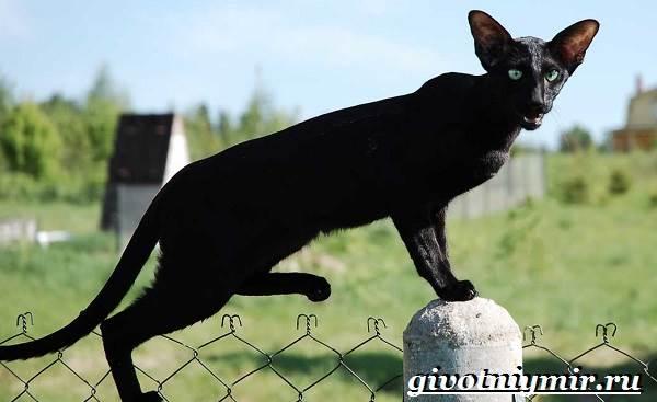 Ориентальная-кошка-Описание-особенности-цена-и-уход-за-ориентальной-кошкой-6