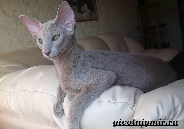 Ориентальная-кошка-Описание-особенности-цена-и-уход-за-ориентальной-кошкой-7